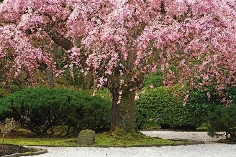 COURTESY: DAVID COBB - The weeping cherry tree at Portland Japanese Garden blossoms in the spring. The garden reopens Tuesday, March 1.