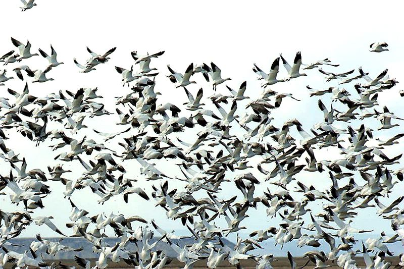 COURTESY OF U.S. FISH AND WILDLIFE - Hundreds of birders are expected next month at the nearly sold-out Harney County Migratory Bird Festival, hosted by the Malheur National Wildlife Refuge south of Burns. A 41-day seige of the refuge by militants this year may have given Oregon's image a slight black eye, according to people who wrote to Gov. Kate Brown.