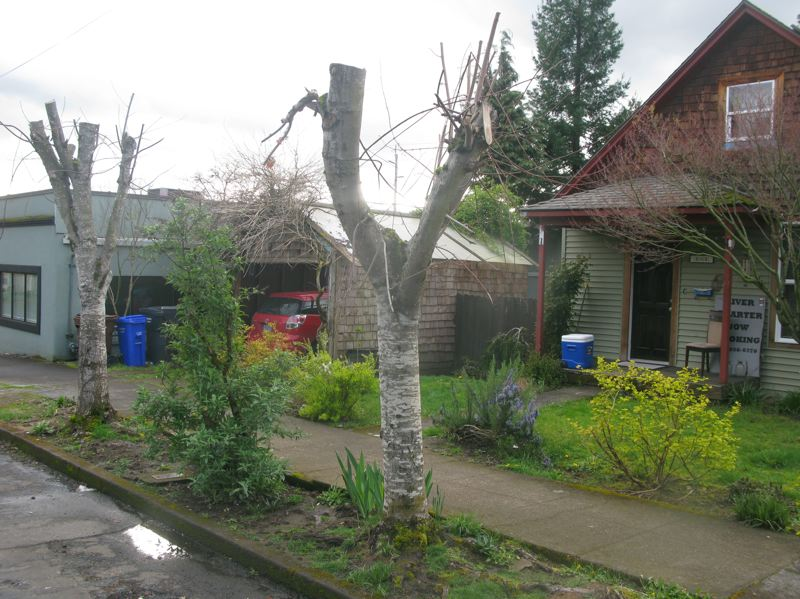 PHOTO BY RAYMOND RENDLEMAN - Two property owners along John Adams Street in Oregon City will have to replace topped trees with healthy trees at least 2 inches in diameter.