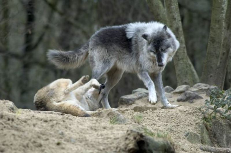 PAMPLIN MEDIA GROUP FILE PHOTO - An environmental group claims Oregon lawmakers misrepresented provisions of a bill adopted by the Legislature that removed wolves from the endangered species list.