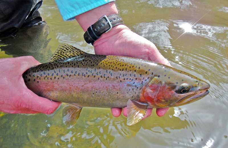 PHOTO COURTESY ODFW - Redside trout.