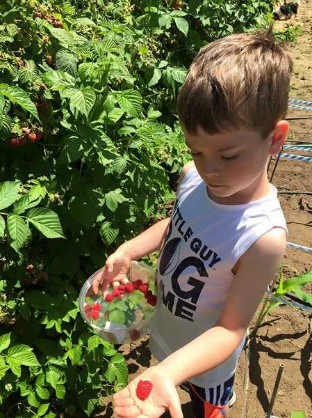 SUBMITTED PHOTO - Brayden picks all the berries he sells himself at his grandparent's property in Canby.