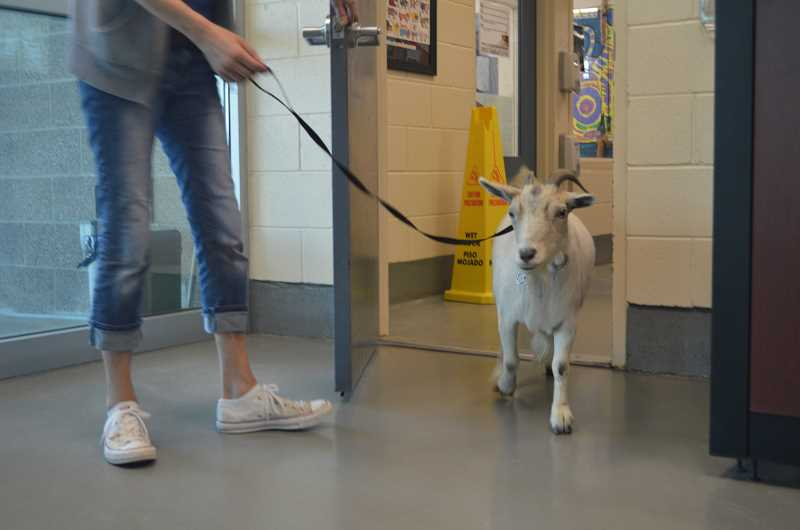 Missing Tigard goat reunited with owners