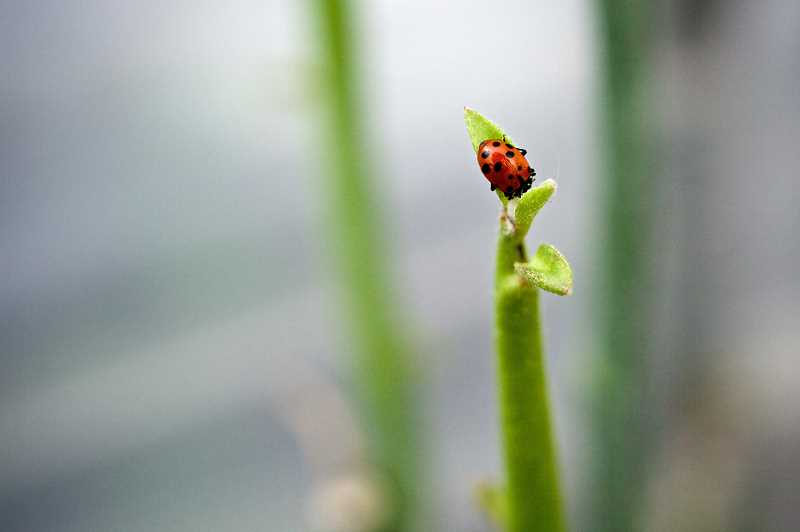 TIMES PHOTO: JAIME VALDEZ - Ladybugs are used to protect the plants in the greenhouse at NW Cactus and Succulents.