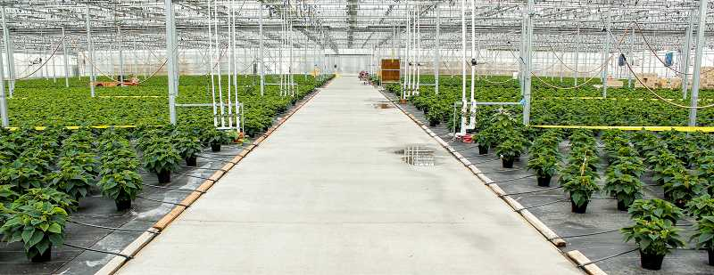 HILLSBORO TRIBUNE PHOTO: TRAVIS LOOSE - A peek into one of the many greenhouses at the Iwasaki Brothers 100-year-old bedding plant nursery and wholesale growing facility on Minter Bridge Road.