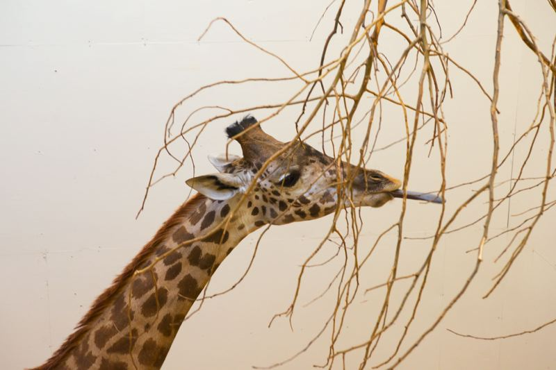 New Masai giraffe finds a home at Oregon Zoo