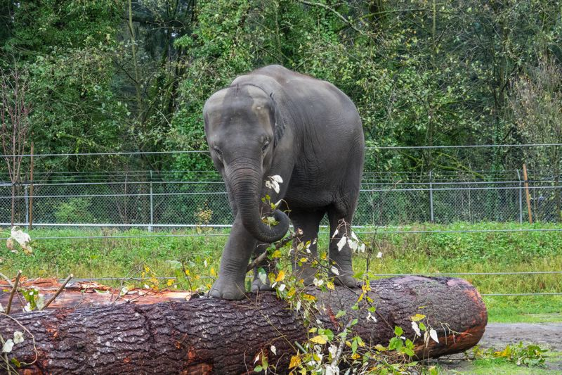 COURTESY PHOTO: KATHY STREET/OREGON ZOO. - Asian elephant Lily climbs atop a 30-foot log at the Oregon Zoo that was donated by the World Forestry Center.