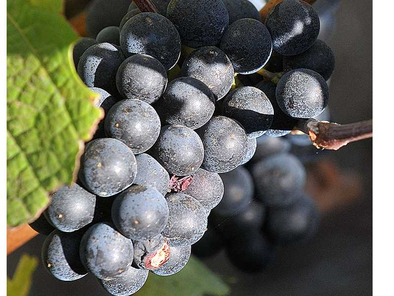 GARY ALLEN - It's getting increasingly difficult to determine what 'normal' is for Oregon's grape growing season, according to the latest harvest report released this month.