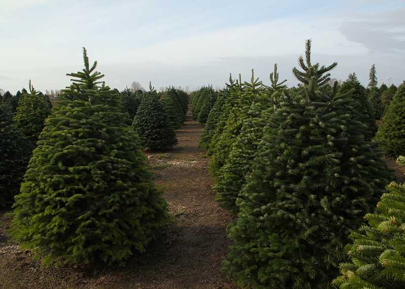 JULIA COMNES - Bauman's Farm and Garden in Gervais still has Christmas trees available, but it's one of the few options left in the area.