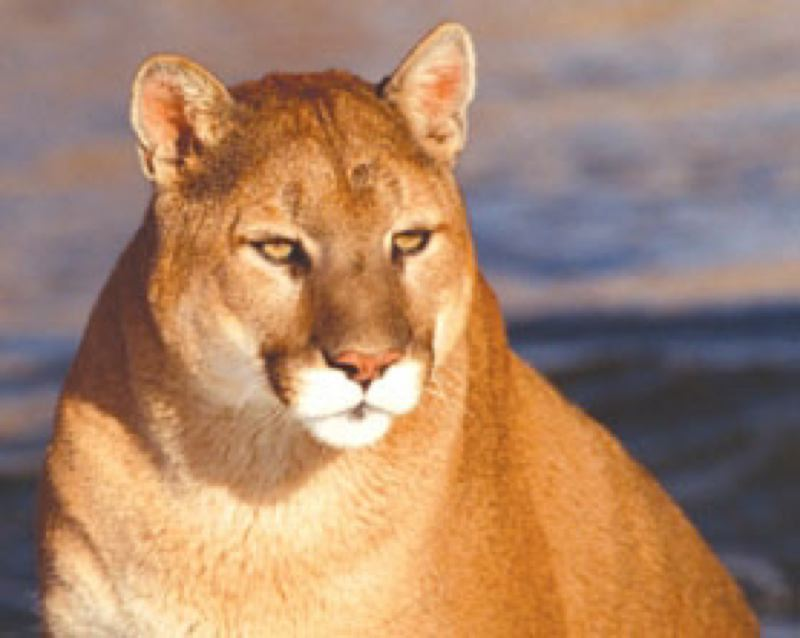FILE PHOTO - The cougar was shot and killed on private property after being tracked and treed by hounds.