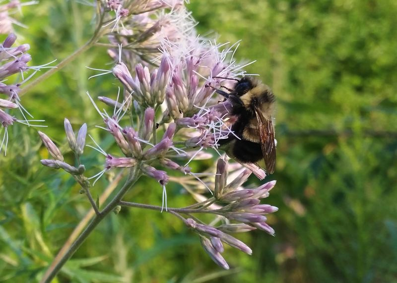 COURTESY: RICH HATFIELD, XERCES SOCIETY - The rusty patched bumble bee, seen on this purple flower, has died off at alarming rates due to pesticide use, habitat loss, disease and climate change.
