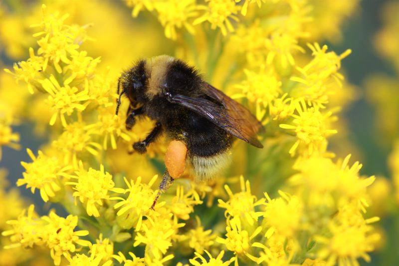 COURTESY: RICH HATFIELD, XERCES SOCIETY - The western bumble bee, seen on this yellow flower, was once common in Portland and along the West Coast, but also has dropped off dramatically. It is not yet listed as endangered.