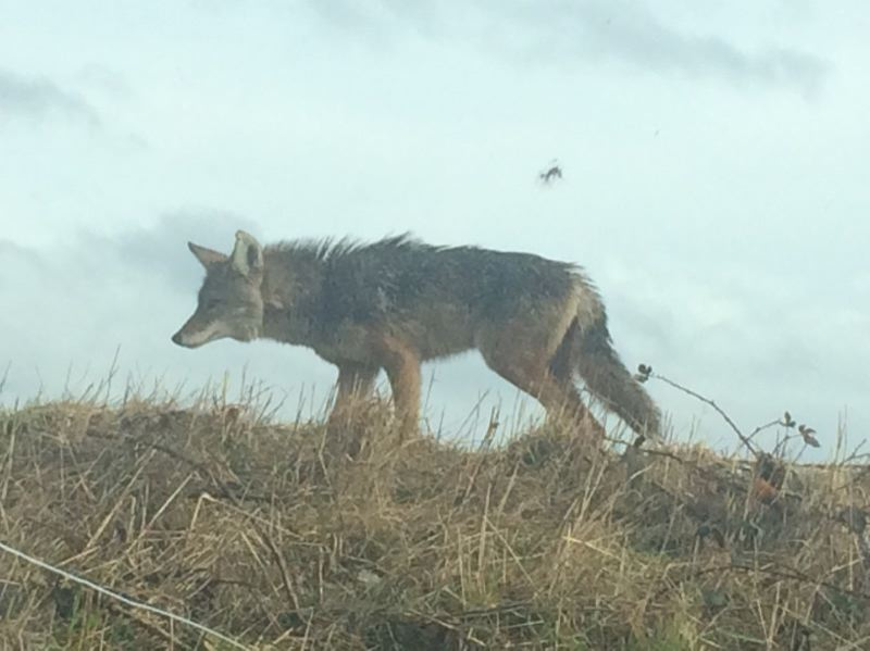CONTRIBUTED PHOTO: QUINN ROSA - This coyote made himself visible Thursday afternnon, Feb. 9, near the Columbia Gorge Comfort Inn in Troutdale.
