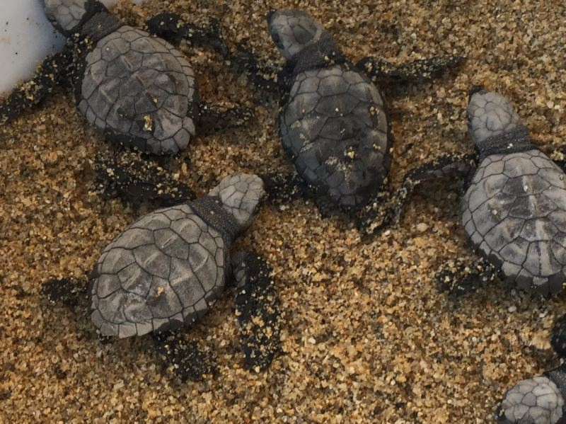 COURTESY PHOTO: DAWN ROBBINS  - New-born leatherback turtles are readied for release into the Pacific Ocean at a rescue operation in Todos Santos, Baja California Sur this winter.