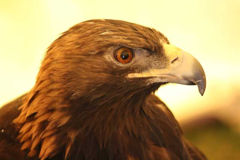 HOLLY M. GILL - Aquila, a 35-year-old blind golden eagle from the Sunriver Nature Center,  returned for the annual event.