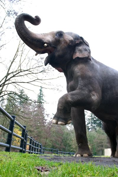 COURTESY PHOTO: THE OREGON ZOO - Packy spent most of his life in the Oregon Zoo's 1959-era elephant enclosure and barn.