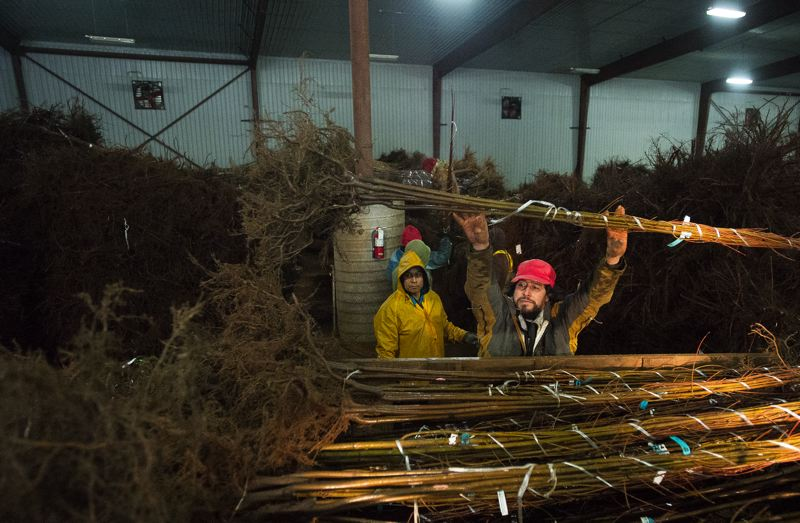 OUTLOOK PHOTO: JOSH KULLA - Employees at Surface Nursery stack trees for shipment last week. Ongoing snow and rain has delayed shipments by several weeks.
