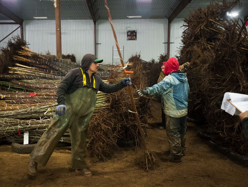 OUTLOOK PHOTO: JOSH KULLA - Workers at Surface Nursery in Boring prepare bundles of trees for shipment around the country. Heavy rains have delayed that process by several weeks this winter.