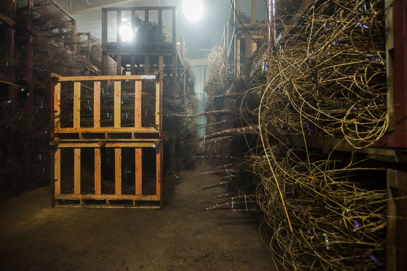 OUTLOOK PHOTO: JOSH KULLA - Trees lay stacked ready for shipment in a refrigerated room at Surface Nursery in Boring. Rains nearly matching the annual average have fallen in just the first five months of the current water year, measured from September to October.