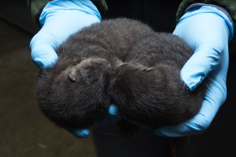 COURTESY: MICHAEL DURHAM/OREGON ZOO - The Oregon Zoo's otter pups could fit in two hands a week after birth. They have since grown, and will soon be available for public viewing.