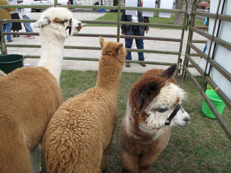 PHOTOS COURTESY OF HIGH DESERT WOOL GROWERS ASSOCIATION
