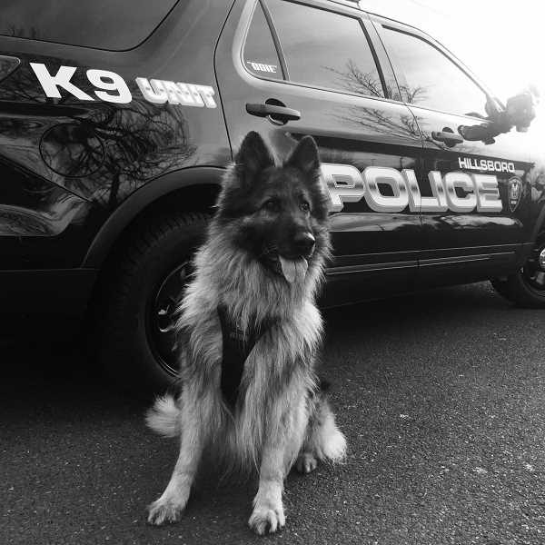 COURTESY PHOTO - Hillsboro Police K-9 'Odie' was euthanized March 9 after being diagnosed with cancer.