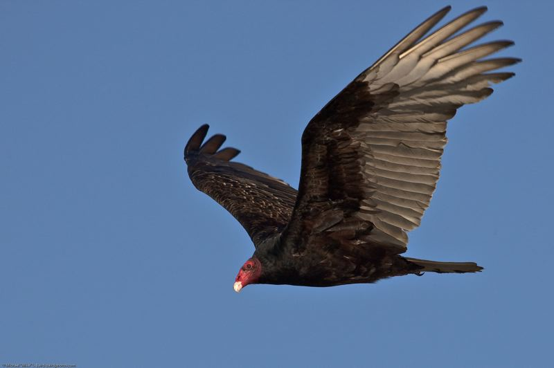 WIKIPEDIA PHOTO - A turkey vulture soars.