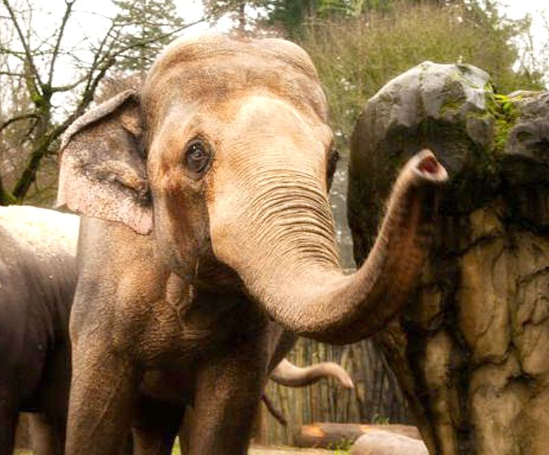 COURTESY PHOTO: THE OREGON ZOO - Tusko, a former circus elephant loaned to the Oregon Zoo in 2005, died in December 2015 and was buried in the rural Clackamas County site.