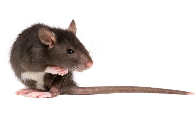 FILE PHOTO - Rat and other rodents can cause damage inside and outsie homes. Take care to prevent rodents from moving in.