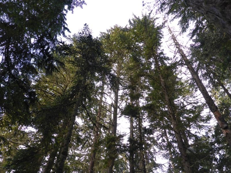 COURTESY OF BARK - A timber stand in Mount Hood National Forest, where a large timber sale is planner.