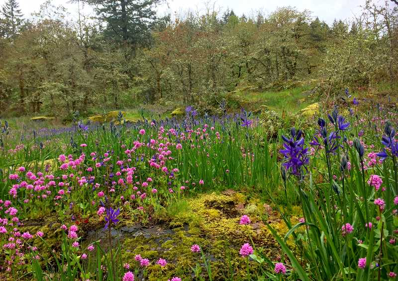 TIDINGS PHOTO: LESLIE PUGMIRE HOLE - In centuries past, native tribes burned the forests surrounded camas meadows to create better habitat for the important food source.