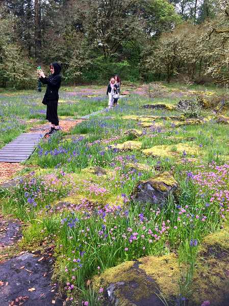TIDINGS PHOTO: LESLIE PUGMIRE HOLE - Camas only blooms through May as a rule, giving way to summertime wildflowers.