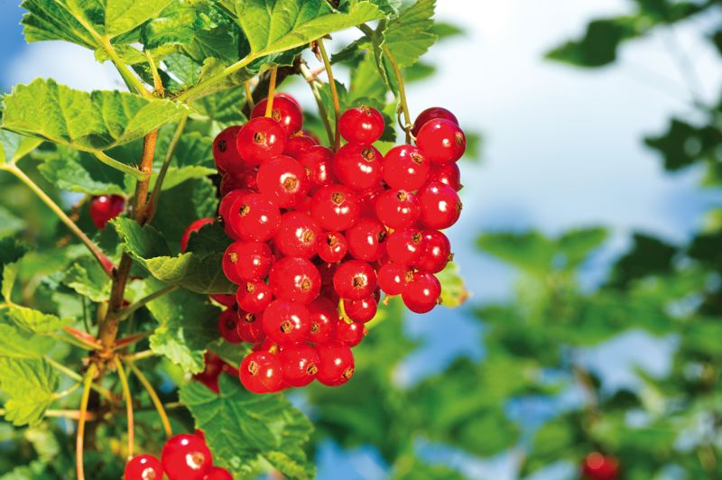 PHOTO COURTESY: DREAMSTIME - Currants provide wonderful red berries when they ripen.