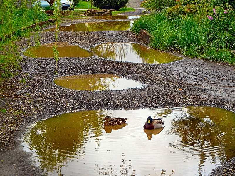 ELIZABETH USSHER GROFF - This year there is no canoe on Lake Carlton or its companion mudpuddles in Woodstock, but the ducks are happy.