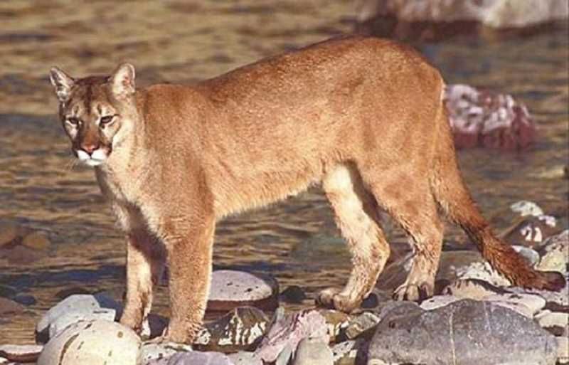 COURTESY PHOTO - A cougar sighting south of Forest Grove Sunday sparked comments about other local sightings from neighbors near Forest Groves southern border. (Cougar pictured is not the one sighted.)