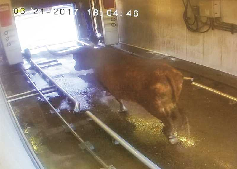 PHOTO COURTESY OF KING OIL AND LUBE - By the looks of things, one of the escape longhorns from Wednesday's cattle drive just needed to clean up for the crowd. The following image was caught by a security camera in the car wash at King's Oil and Lube.