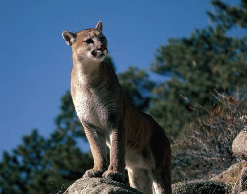 COURTESY OF THE OREGON DEPARTMENT OF FISH & WILDLIFE - Cougars are the largest feline species in Oregon and have been known to attack humans on occasion. Pets and livestock are more common prey for cougars in populated areas.