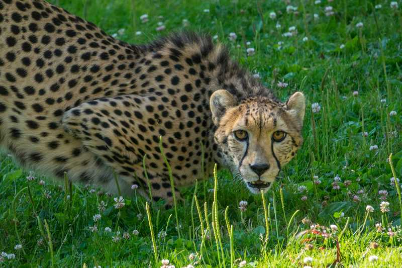COURTESY OREGON ZOO - The Oregon Zoo recently welcomed two new cheetahs, named Mary Jane and Darlene.