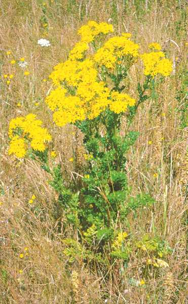 SUBMITTED PHOTO - Canby-area residents need to be on the lookout for an increase in this year's Tansy ragwort plant. The Clackamas Soil and Water District has issued a warning for this area that the weed is a major problem and property owners are asked to deal with it. The plant is extremely dangerous for livestock and animals.