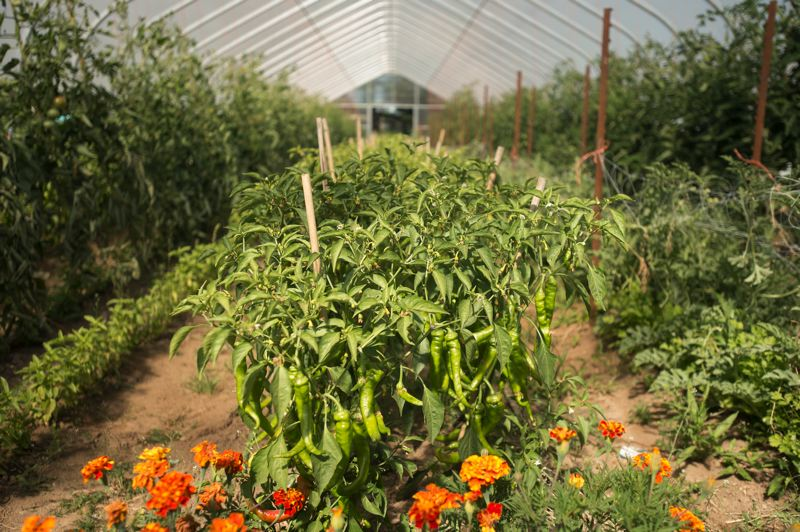 OUTLOOK PHOTO: JOSH KULLA - Growing peppers hang from their stems inside a greenhouse run by Wild Roots Farm on the Headwater Farms incubator farm.