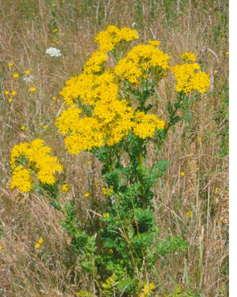 PHOTO COURTESY: CSWCD - Patches of tansy are found in pastures, fields, grasslands, vacant land, waste places, horse trails, roadsides, rangeland, riparian areas, forested areas and clearcuts.