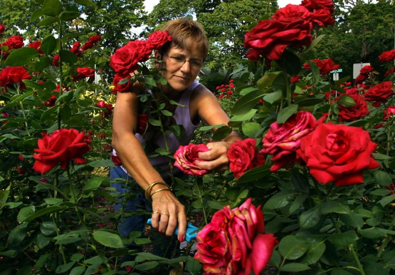 PAMPLIN MEDIA GROUP FILE PHOTO - The maintenance of the East Rose Garden in Ladd's Addition has now fallen squarely on the shoulders of volunteers due to budget cuts by the city of Portland.
