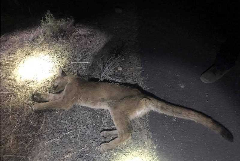 JEFFERSON COUNTY SHERIFF'S PHOTO - Officers had to shoot a cougar that was roaming around Madras.