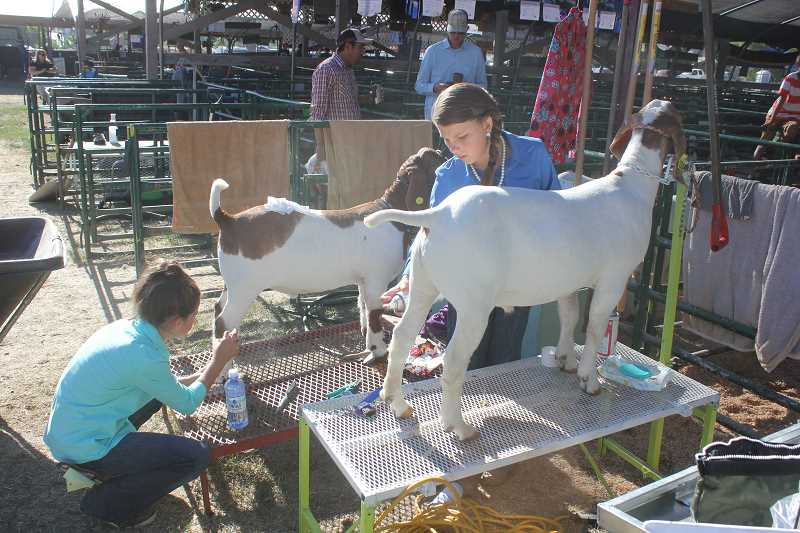 SUSAN MATHENY/MADRAS PIONEER - Rylee McCabe, left, and Emily King fit their goats before the goat showmanship event on Thursday at the Jefferson County Fair.