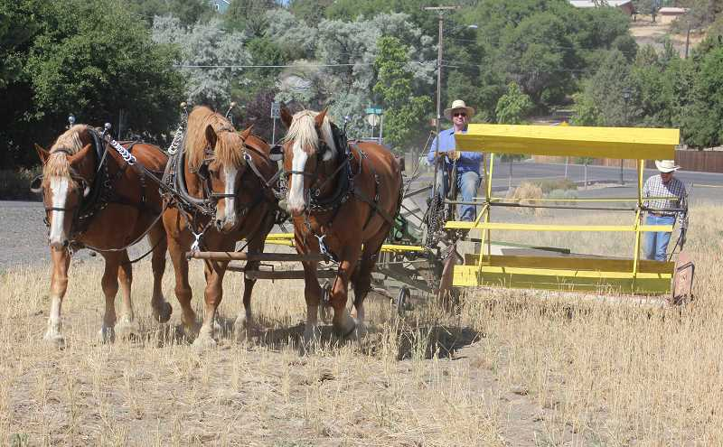 SUSAN MATHENY/MADRAS PIONEER - Mike McIntosh cuts a field of heritage Sonora wheat at the fairgrounds with a vintage binder and draft  horses. The wheat will be thrashed on Aug. 12.