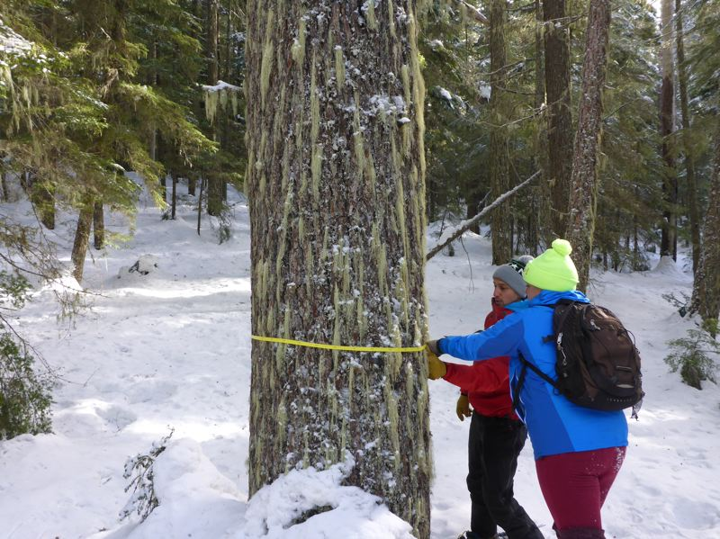COURTESY BARK - Bark volunteers measure a tree slated for removal in the Mount Hood National Forest timber sale planned by the U.S. Forest Service.