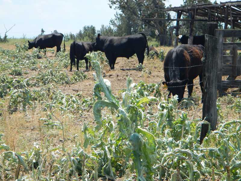PHOTO SUBMITTED BY DEBBIE WOOD  - Scotch thistle, shown in the above photo of a local pasture, is one of the primary noxious weeds that Crooked River Weed Management is struggling with this year.