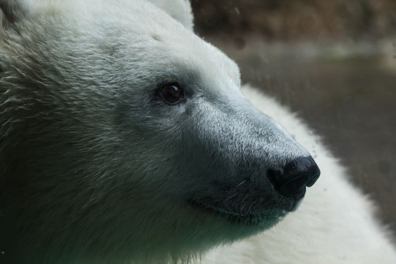 COURTESY PHOTO: MICHAEL DURHAM/OREGON ZOO - Nora the polar bear is leaving the Oregon Zoo by Sept. 10, heading to Utah where she will have a playmate named Hope.