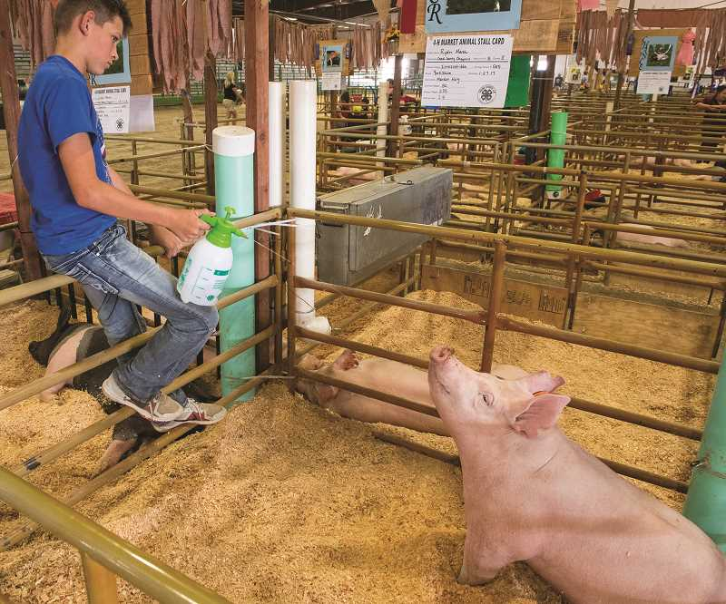 ALL PHOTOS LON AUSTIN/CENTRAL OREGONIAN - Ryder Marsh sprays his pig, Irresistable with water during the fair.