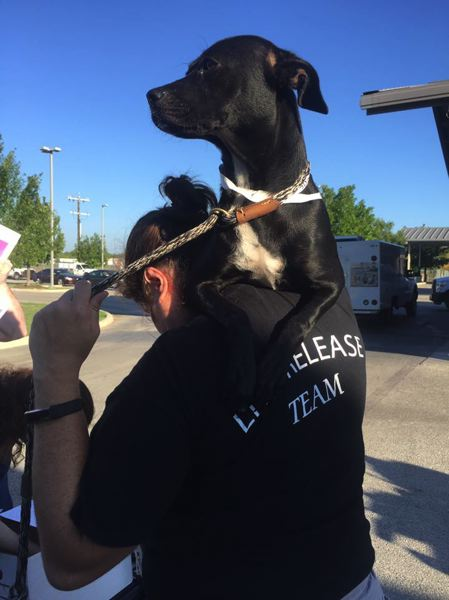 UNITED STATES HUMANE SOCIETY-TEXAS - A dog is transferred from a humane society shelter in San Antonio to a partner shelter to make room for animals dislocated by a hurricane in Houston, Texas. Columbia Humane Society will accept 10 dogs from Texas this week.